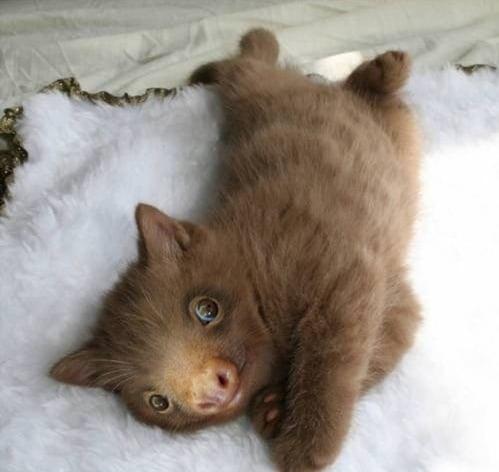 коричневый котенок с мордой ленивца