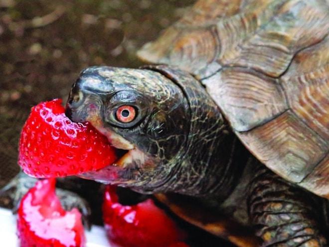 черепаха ест клубнику