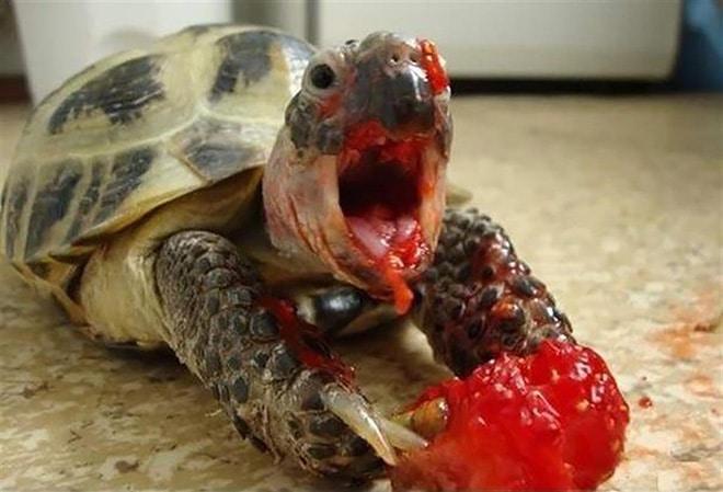 черепашка ест клубнику