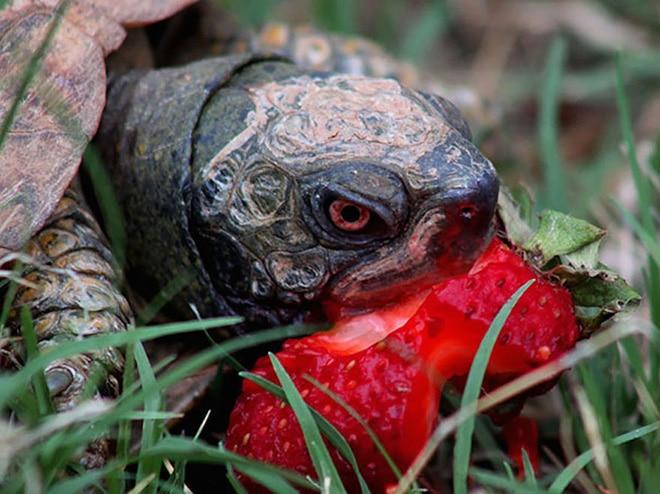 черепаха с клубникой