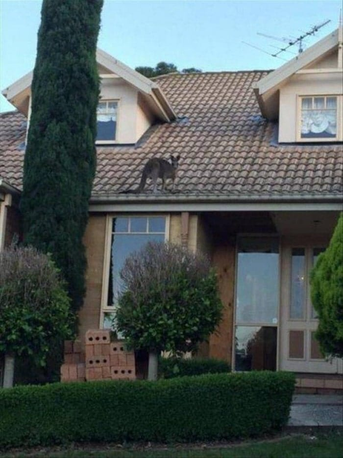 кенгуру на крыше дома