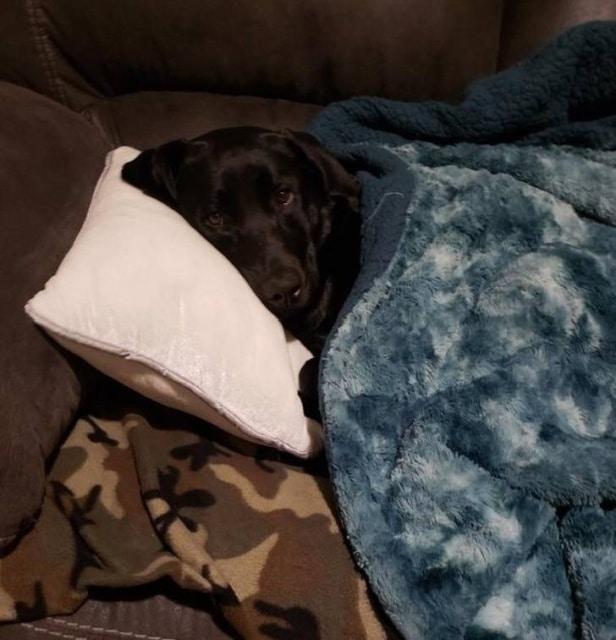 собака спит на подушке под одеялом