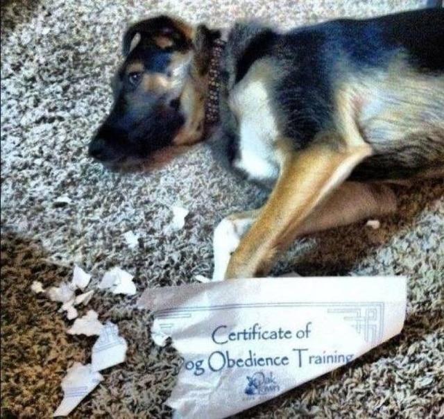 пес разорвал сертификат