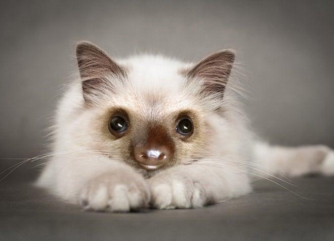 белый котенок с мордой ленивца