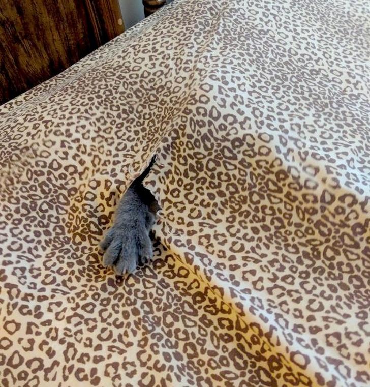 лапа серого кота