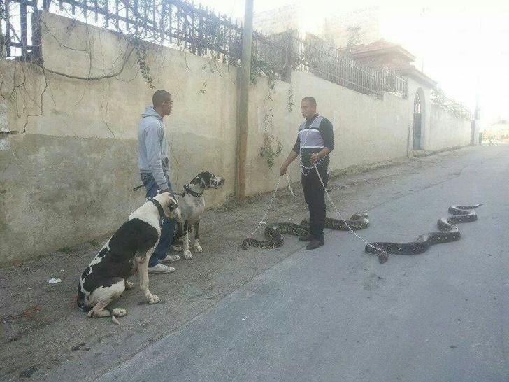 змеи на поводке