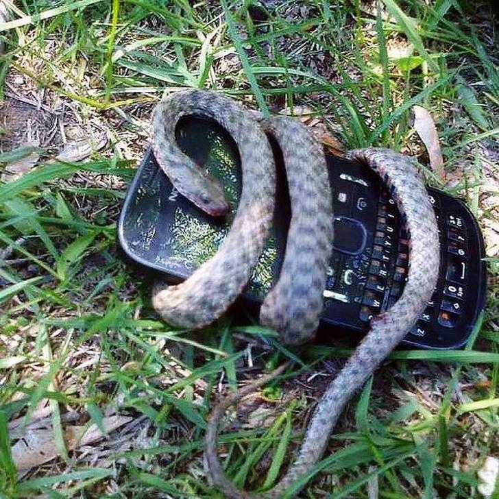 змея с телефоном