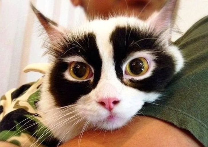кот панда