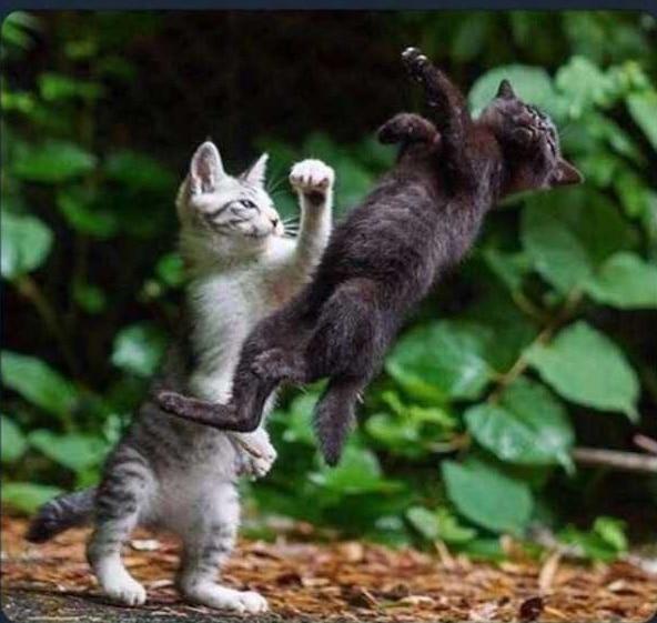 котята дерутся