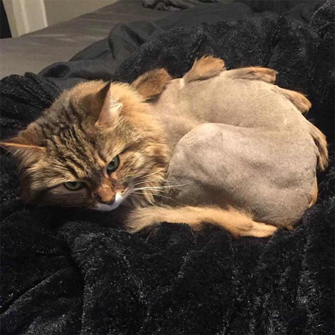 стрижка у кота