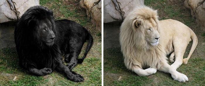 черный лев и обычный