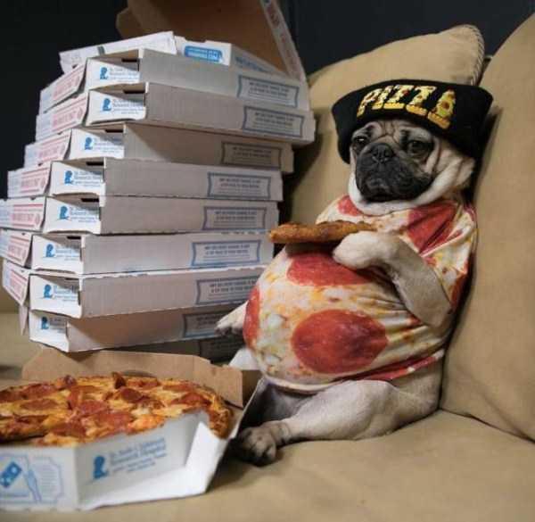 мопс с пиццей