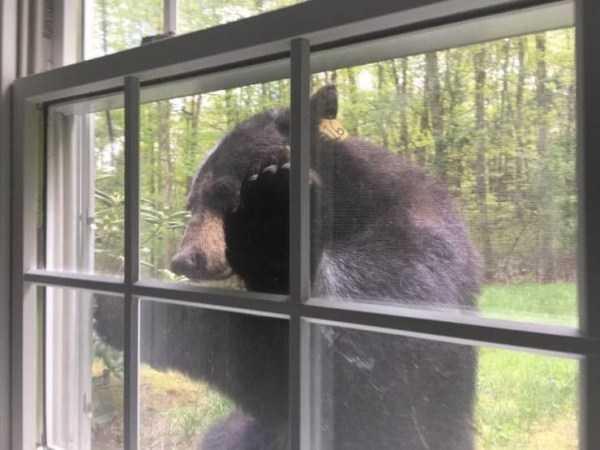 медведь заглядывает в окно
