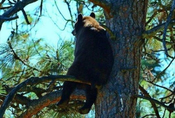 медведь на ветке дерева