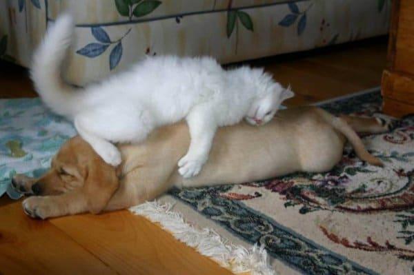 белый кот спит верхом на собаке
