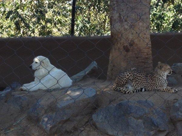собака и ягуар в одной клетке