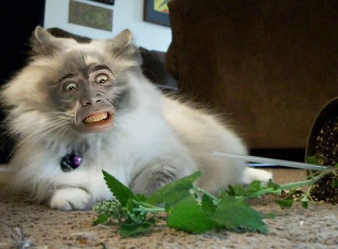 пушистый кот с лицом николаса кейджа