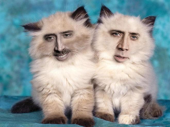 сиамские котята с лицом николаса кейджа