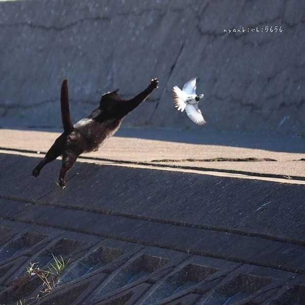 черный кот ловит голубя
