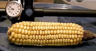 кукуруза проросла