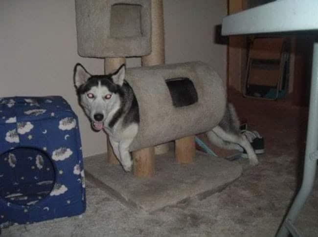 пес застрял в когтеточке