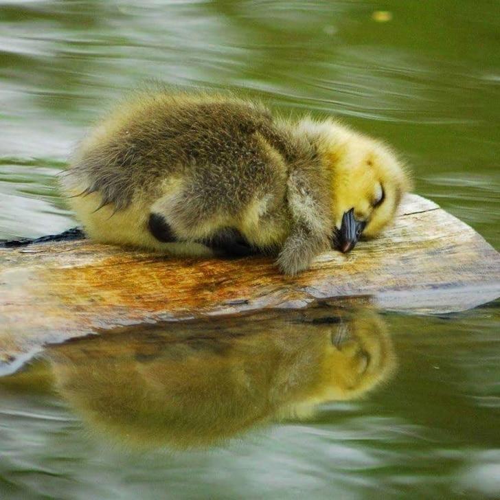 утенок спит на полене