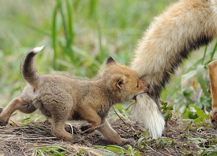 лисенок держится зубами за хвост лисы