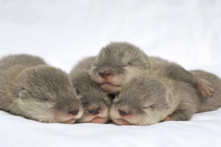 детеныши выдры спят