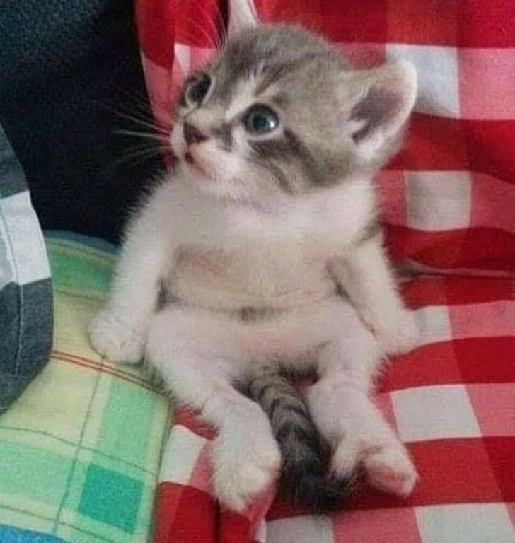 котенок сидит как человек