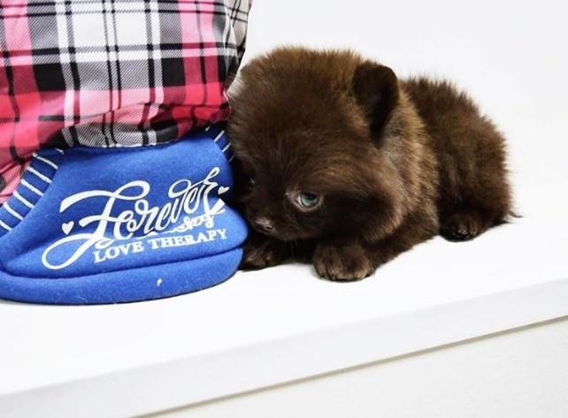 коричневый щенок шпица