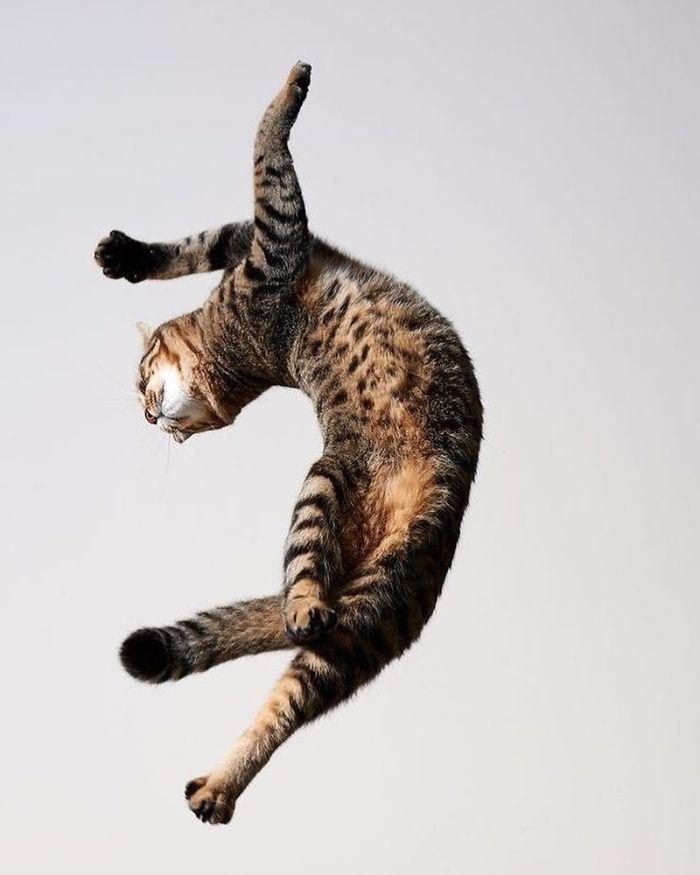 полосатый кот в прыжке