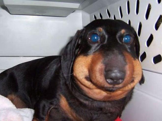 пес, которого укусила пчела