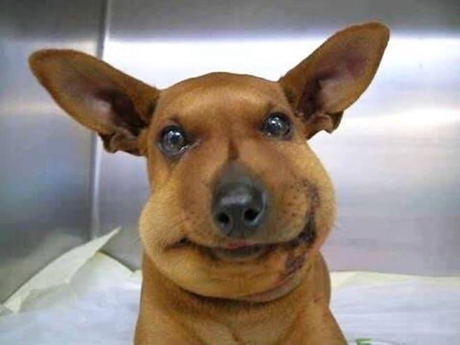 опухшая собака