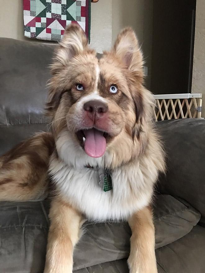 пушистный пес