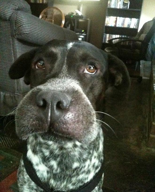 собака и опухший нос