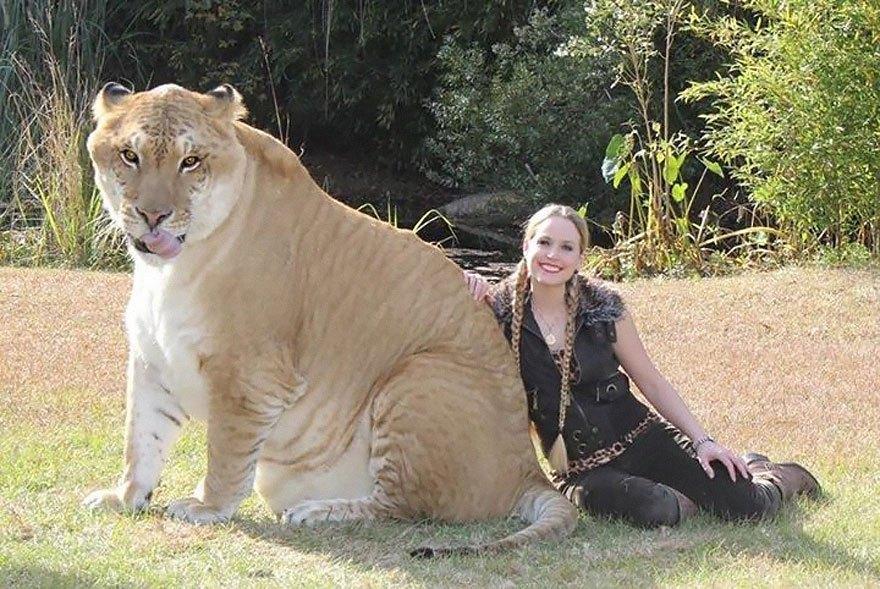 девушка рядом с лигром