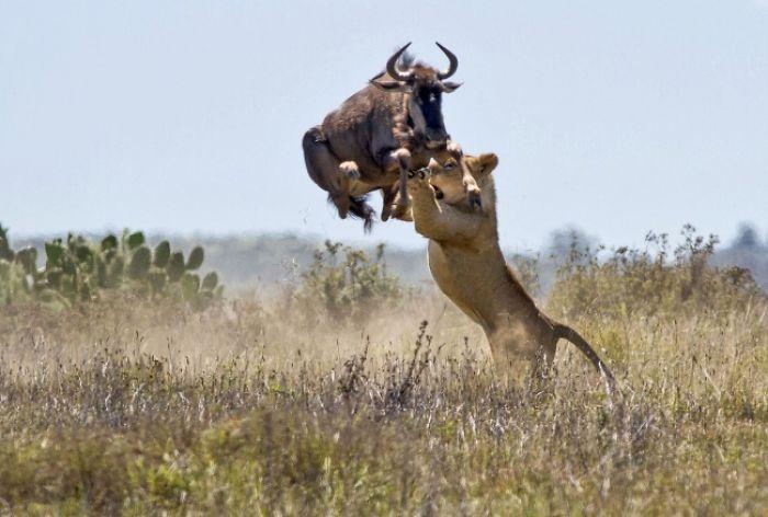 львица и буйвол