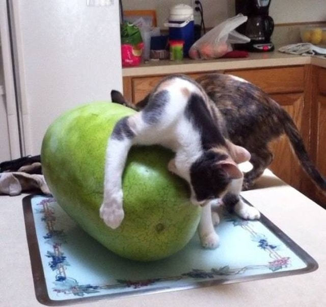 кот грызёт фрукт
