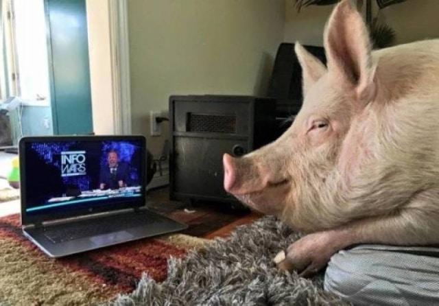 свинья смотрит шоу