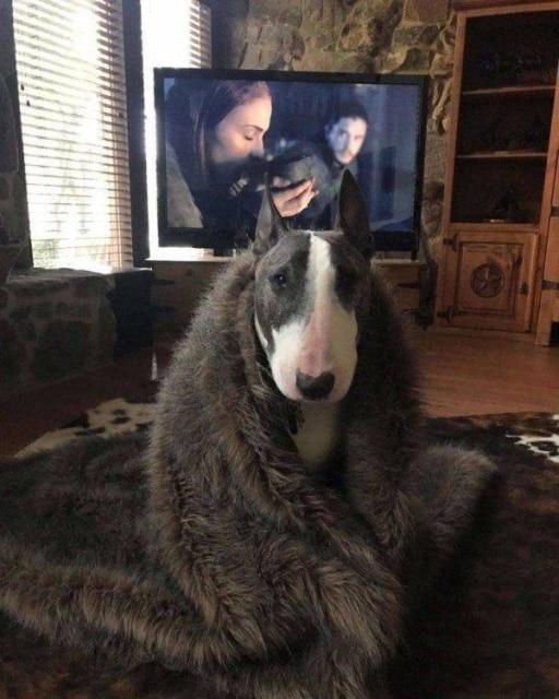 собака в пледе