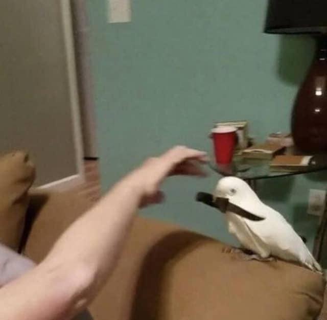попугай с ножом