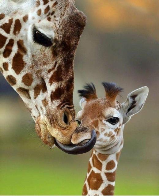 жираф со своим детенышем