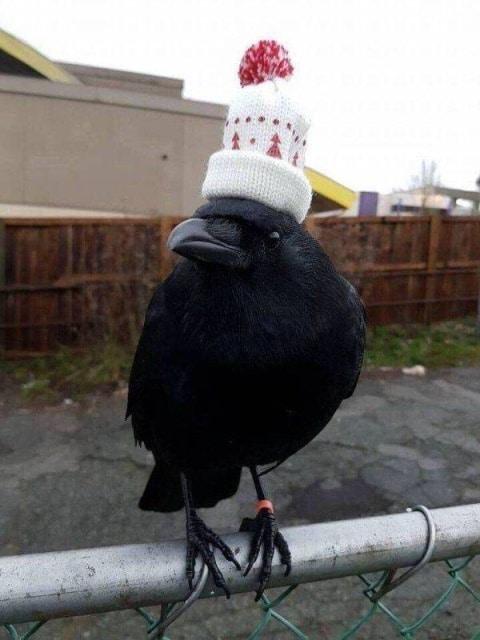 ворона в шапке