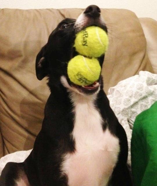 пес с теннисными мячами