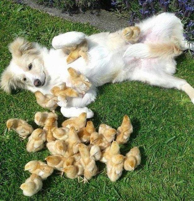 собака и цыплята