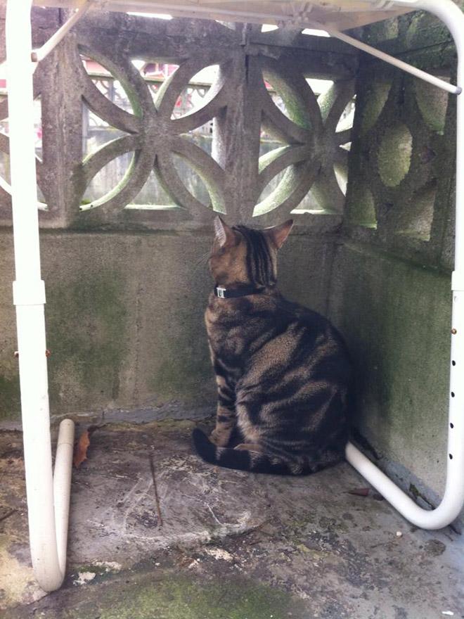 полосатый кот за забором