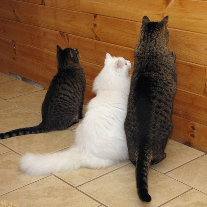 три кота у стены