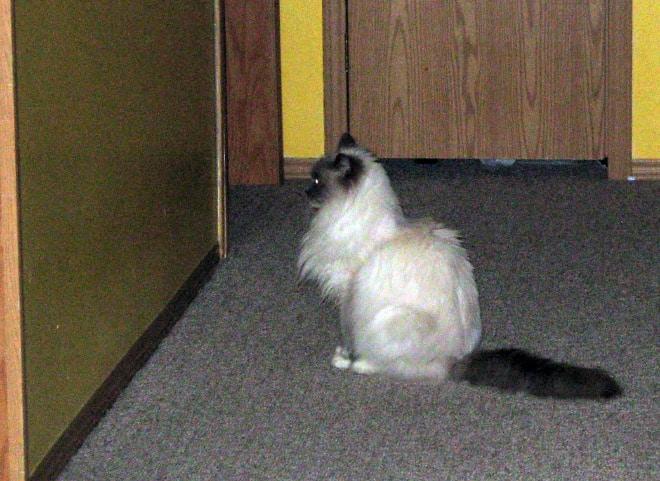 сиамский кот смотрит на стену