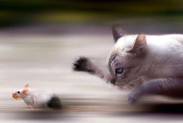 кошка бежит за мышью