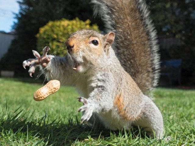 белка ловит орех